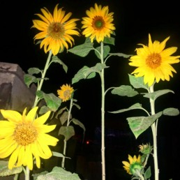 sunflowers photographed at night